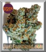 We Sell only Original Big Head Do-Si-Dos Cannabis Seeds - UK USA EU
